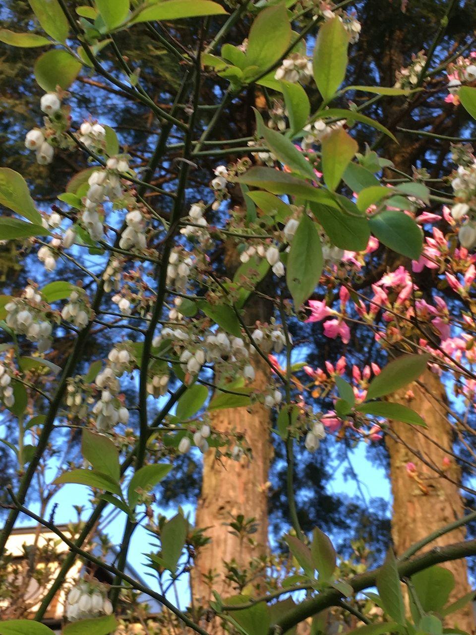 ブルーベリーの花と躑躅の花のコラボレーションです。