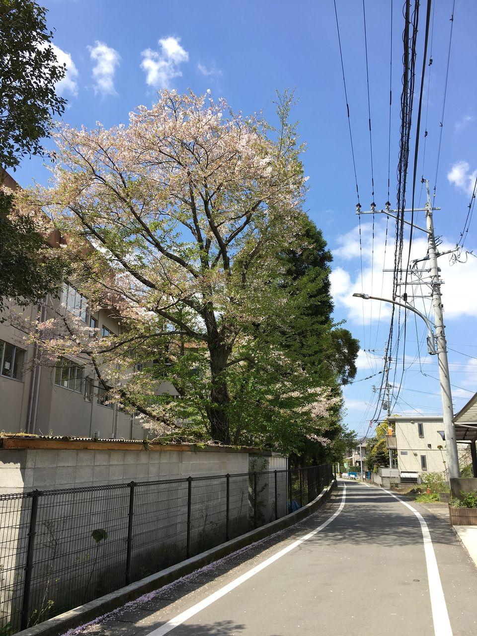 秋津小校舎北側に咲く桜の木