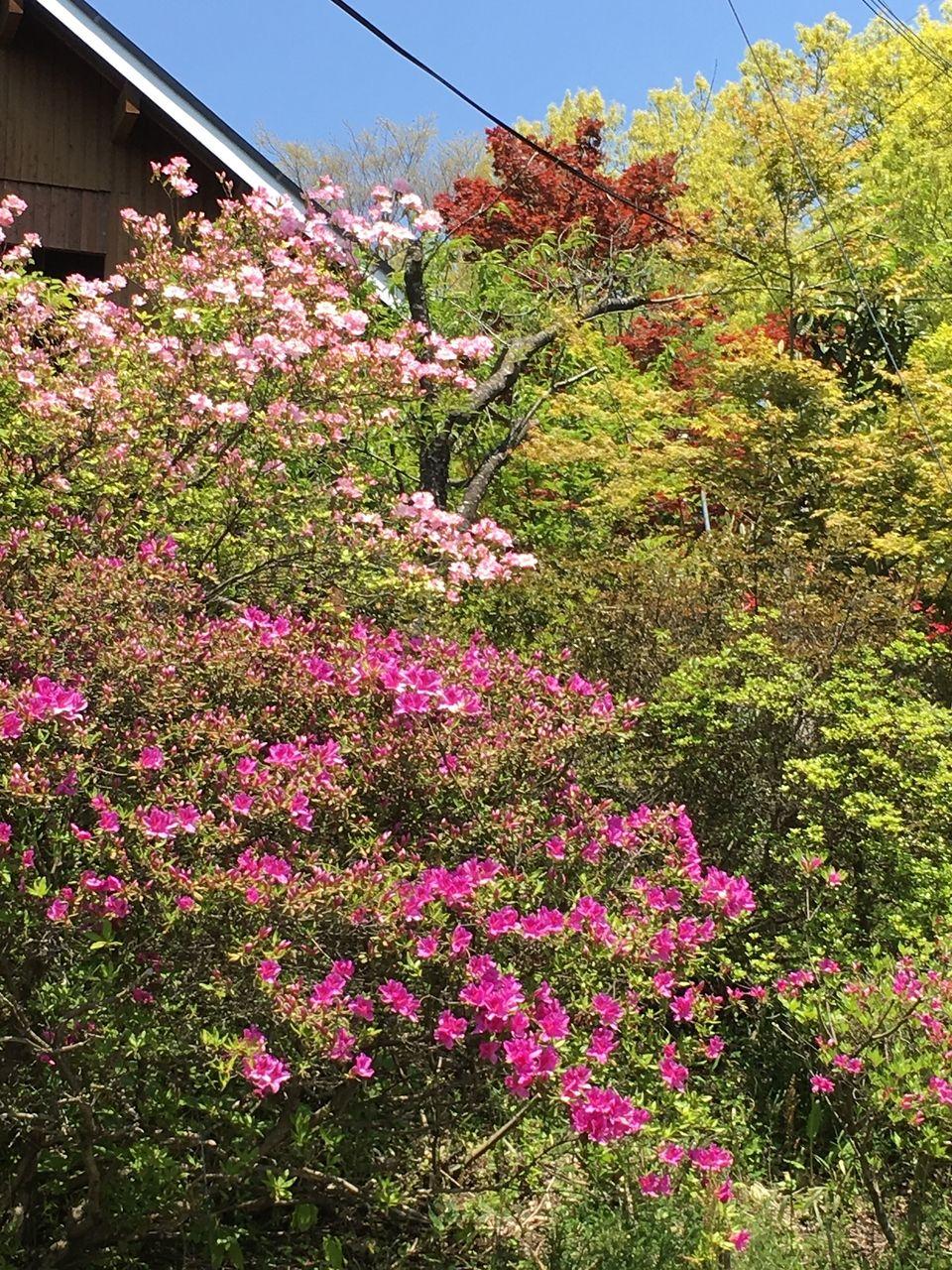 まばゆいばかりの新緑と躑躅の花