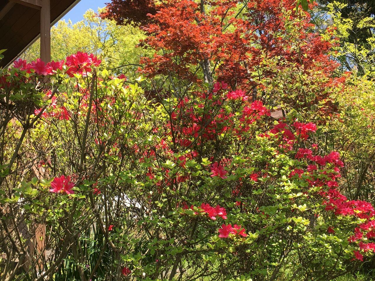 自然の中で太陽の光を満喫している南阿蘇の躑躅花