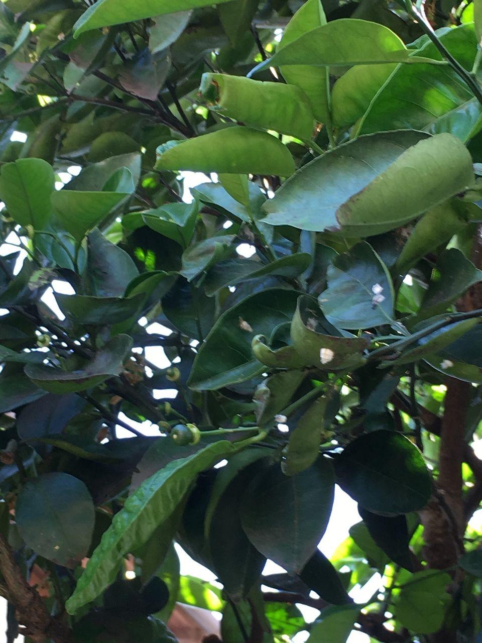 蜜柑の木・蕾が小さな実になってきました