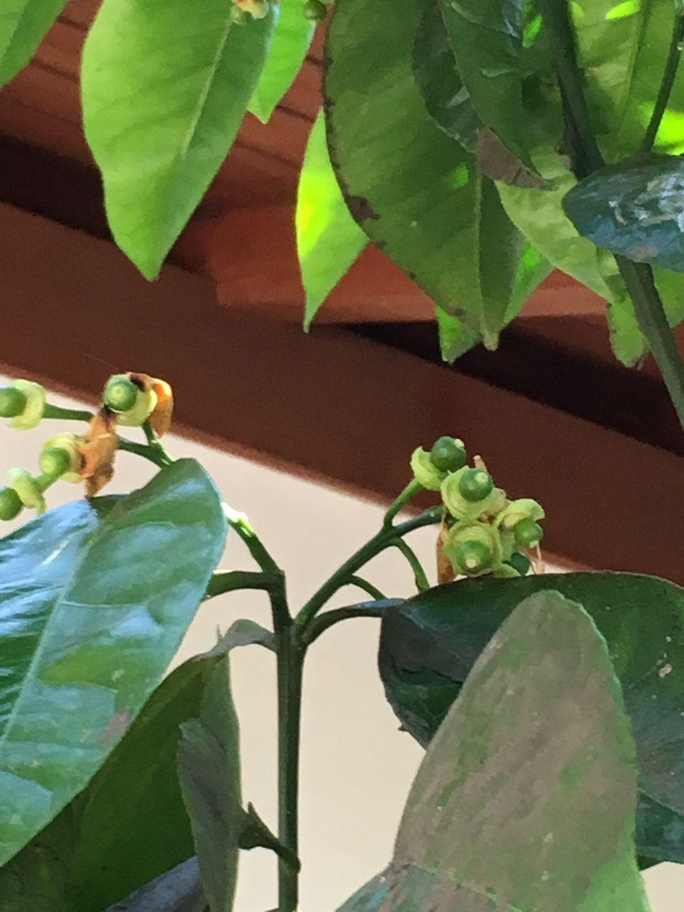 蜜柑の木・蕾が小さな実になってきました・拡大写真です。