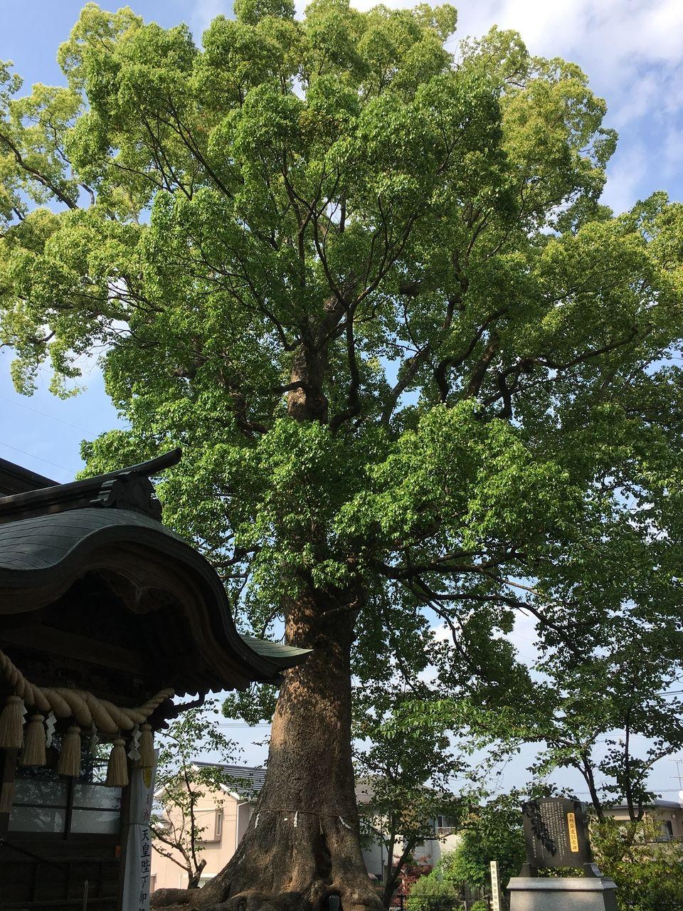 熊本市東区にある沼山津神社、新緑のエネルギーが満ち溢れています。近づくだけで、自然のエネルギーを満喫することができます。樹齢数百年に及ぶ熊本市指定木の木々がたくさんのエネルギーを発散して、神…