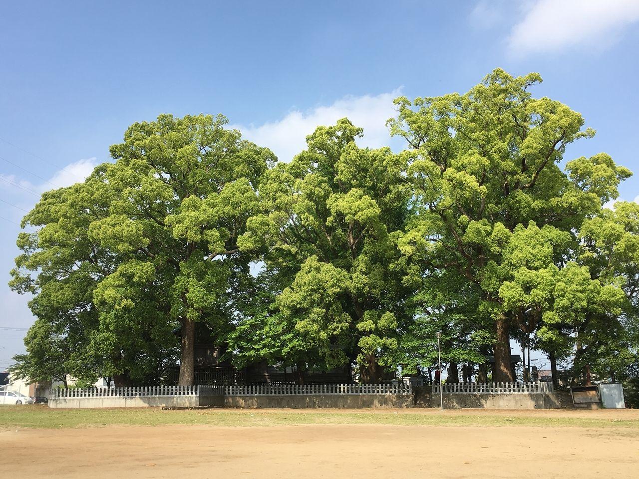 熊本市東区にある秋津東公園に隣接する沼山津神社の新緑エネルギー溢れる御神木