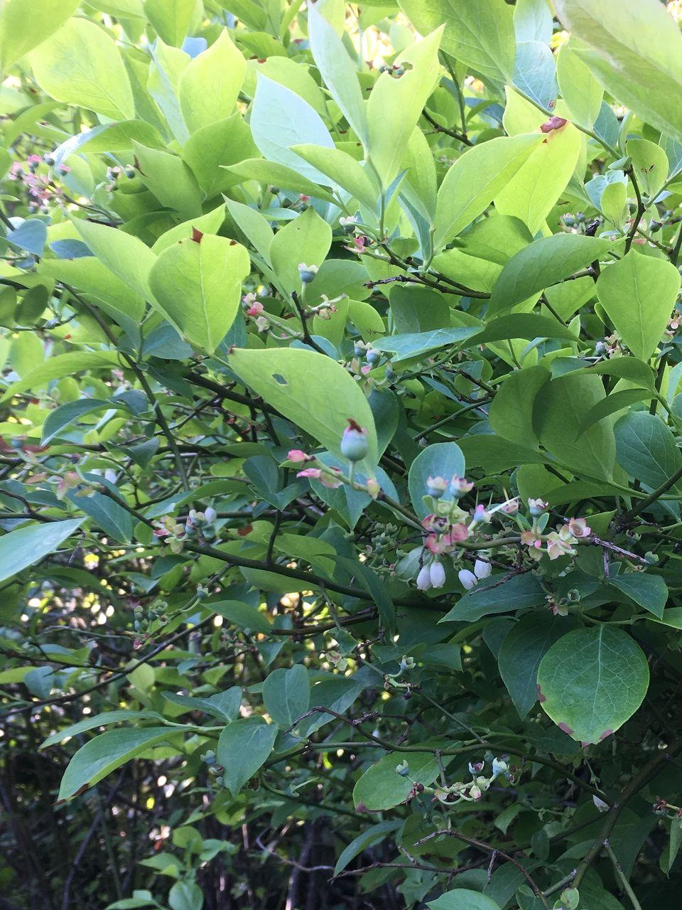 熊本県阿蘇郡南阿蘇村のブルーベリーの木の木の花が実になりました。この前まできれいな花を咲かせていたブルーベリー。白い花が小さな実の蕾となり、やがて青い実となって目も舌も楽しませてくれることで…