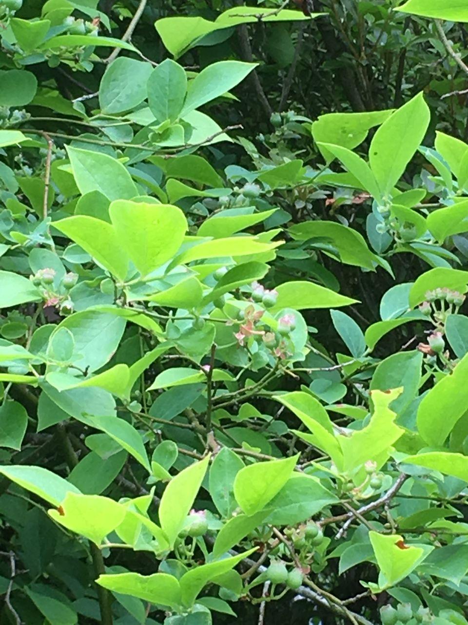 南阿蘇のブルーベリーの木の実がかなり大きくなりました