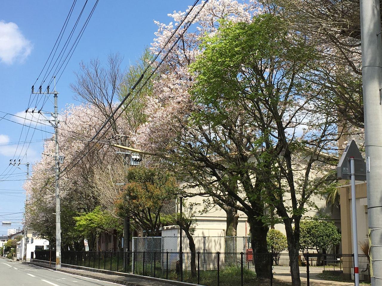 校庭のいたるところで桜の咲き誇る桜木小学校