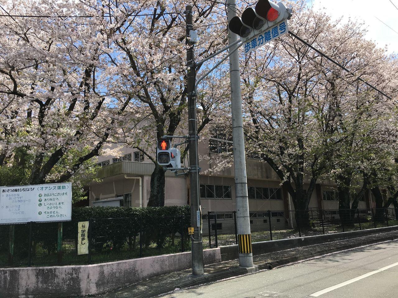 学校に隣接する交差点の信号機は歩車分離の信号機です。