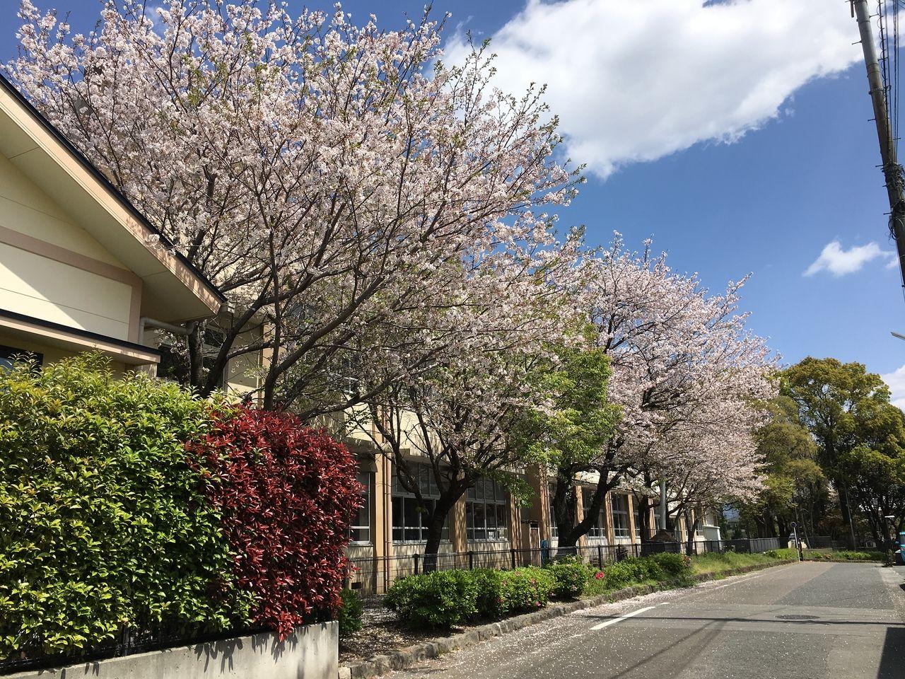 敷地内に満開の花咲く桜木小学校