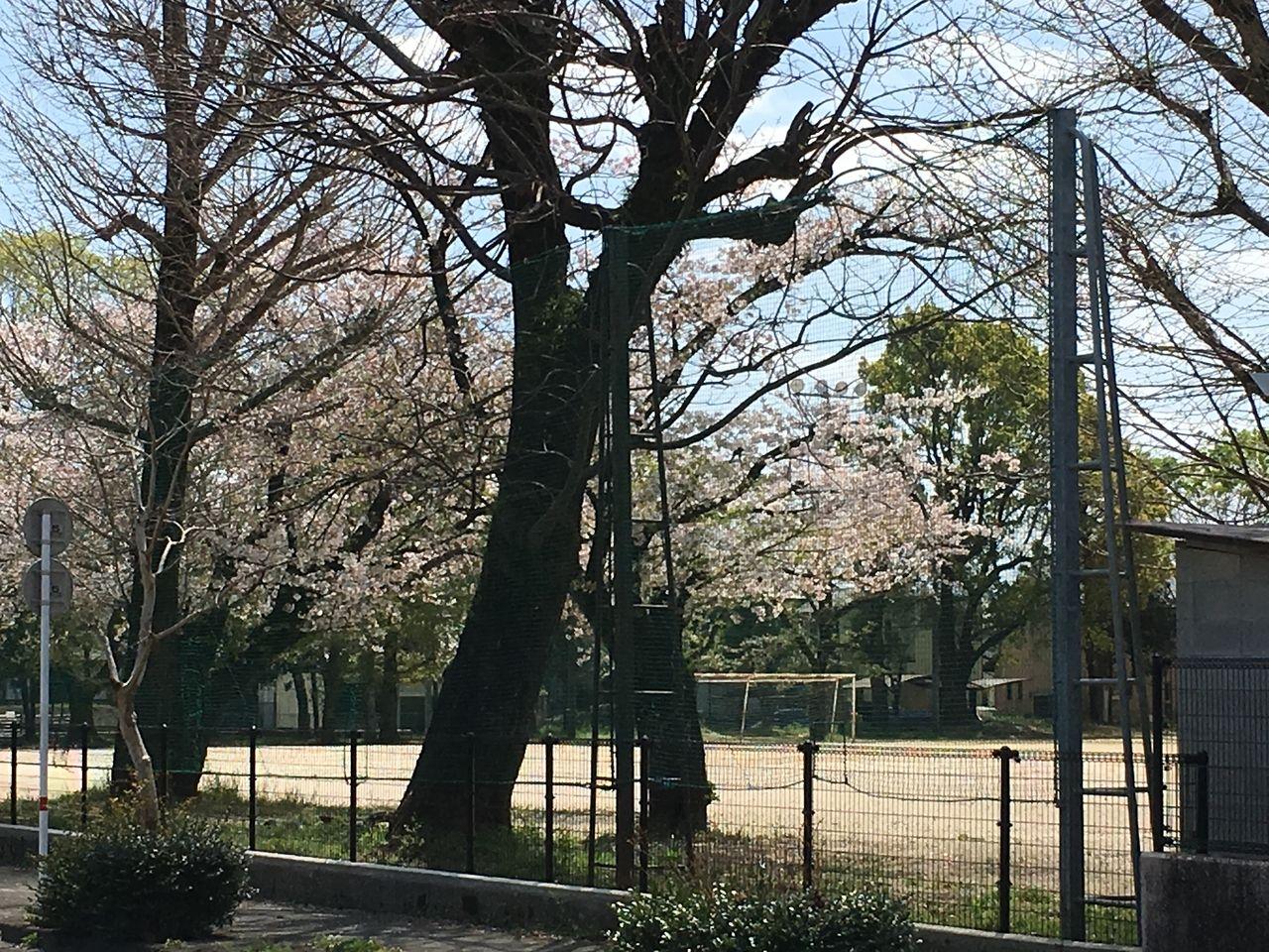 運動場にも桜の咲き誇る桜木小学校