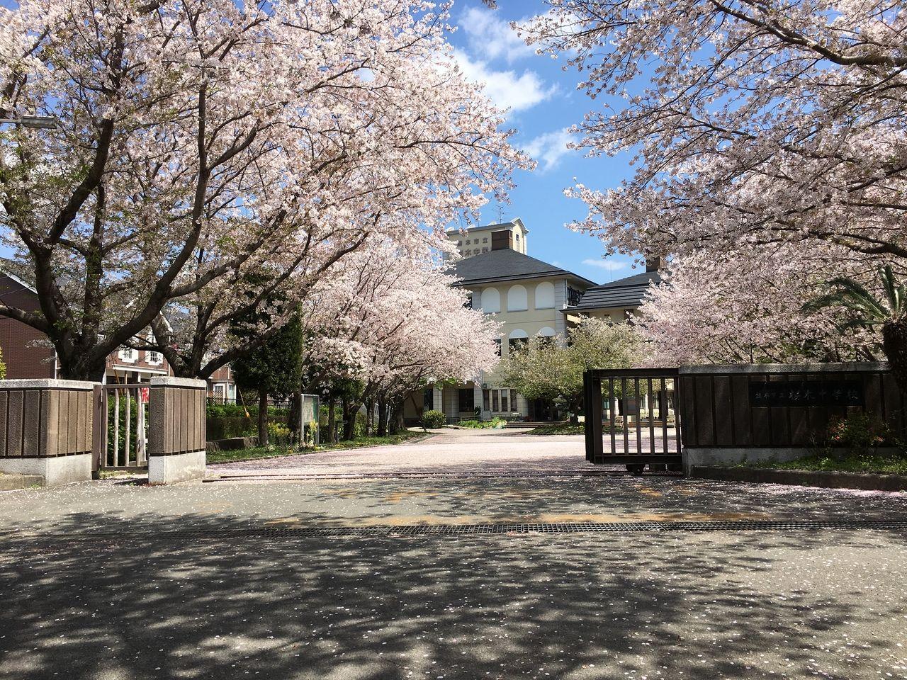 満開のさくら咲く桜木中学校正門
