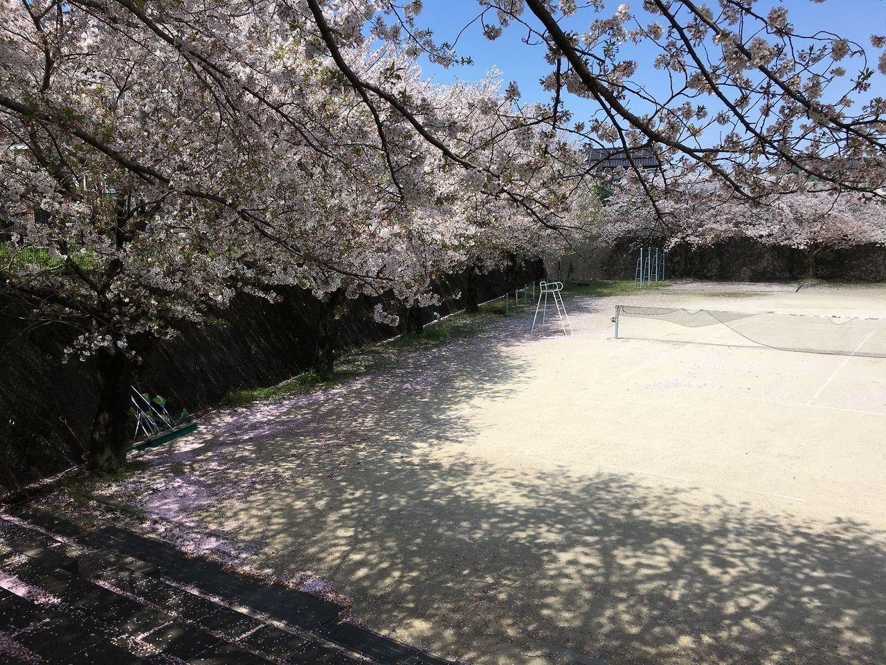桜の花満開の桜木中学校運動場