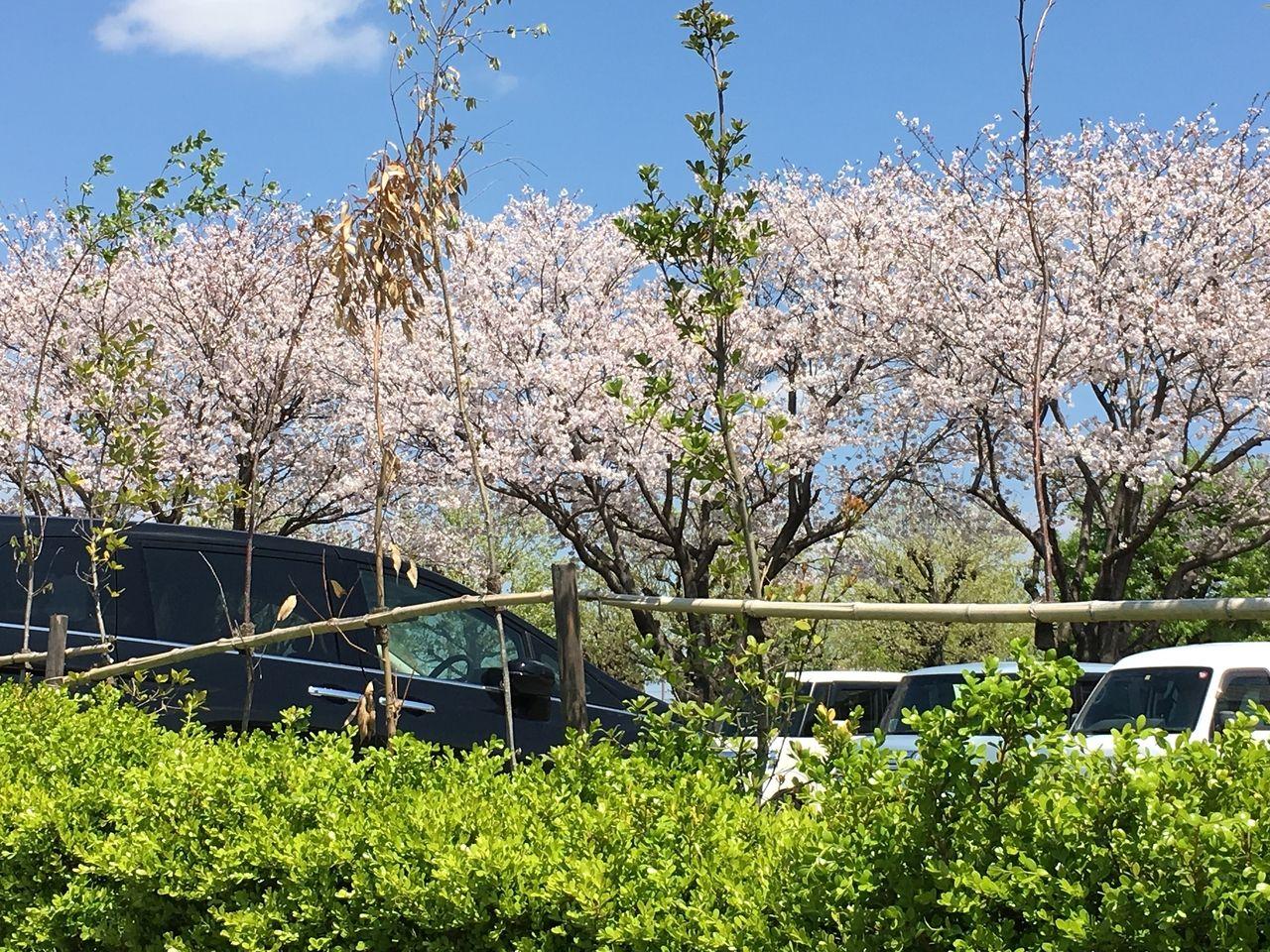 ショッピングモールさくらの森の広い駐車場に咲き誇っている桜の花